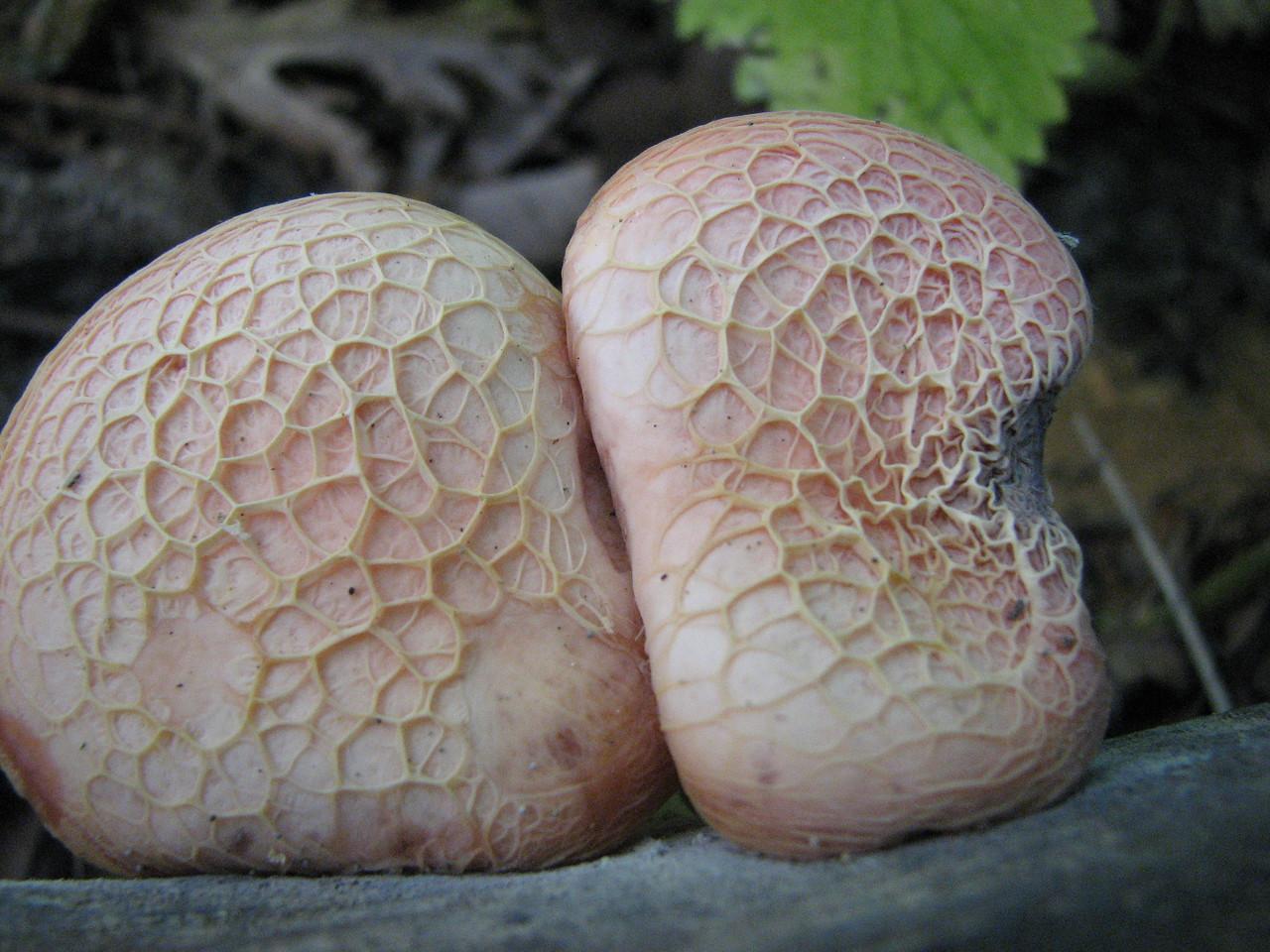 The topside of Rhodotus palmatus.