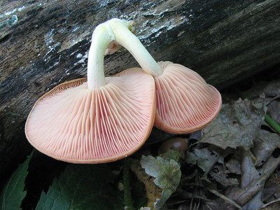 The underside of Rhodotus palmatus.