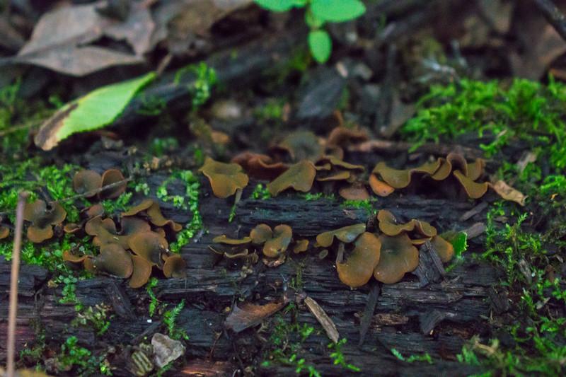 Chloroencolia versiformis, Olive-brown cup