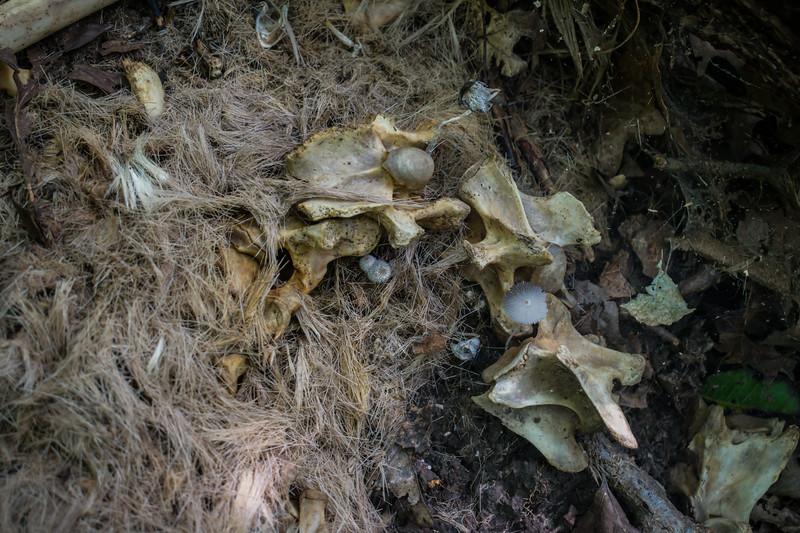 Psyathrellaceae in deer bones