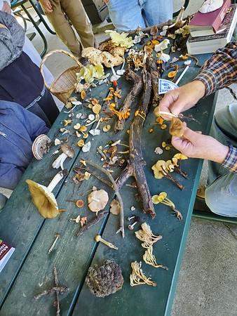 Sorting thru the mushroom collected