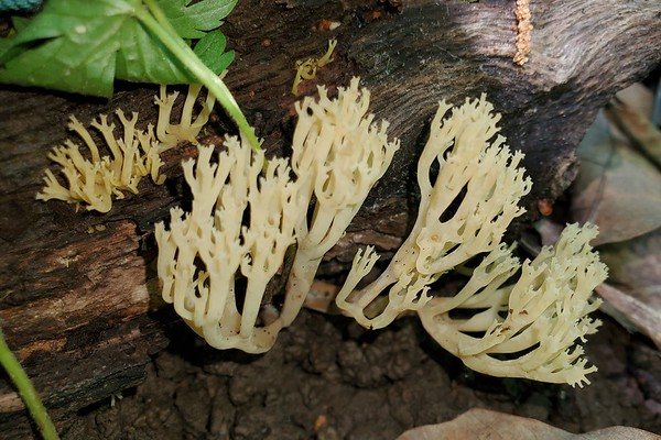 Crown-tipped Coral