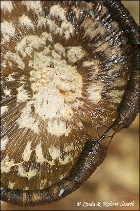 Just the cap of Coprinus quadrifidus