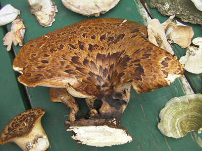 Pheasant Back. A big and small Polyporus squamosus