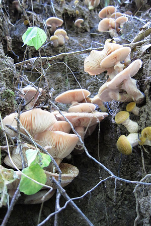 An ravine exposing the roots of a double trunked Oak tree had Honey Mushrooms on the exposed roots.