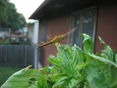 After returning from the foray, this dragonfly posed for me on my bug-eaten basil.