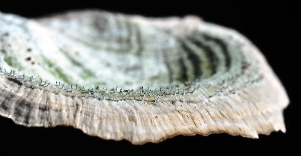 Phaeocalicium polyporaeum on Purple tooth (Trichaptum biforme) or as we call them, Fairy Pins.