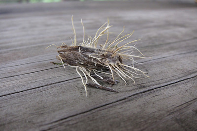 Death by fungus.A moth consumed  by Akanthomyces species