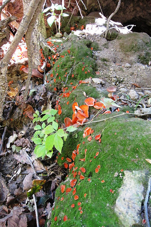 I've never seen this many orange cups (Aleuria  aurantia) in one spot.