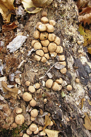 Some old Lycoperdon perlatum covering a log in several patches.