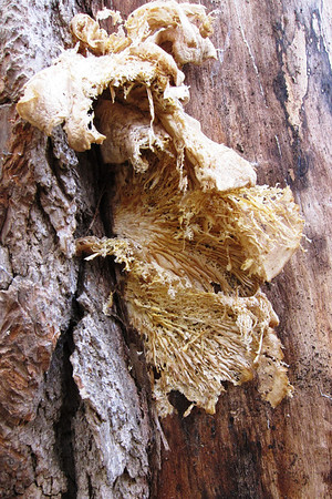 An very old and nasty Oyster Mushroom.