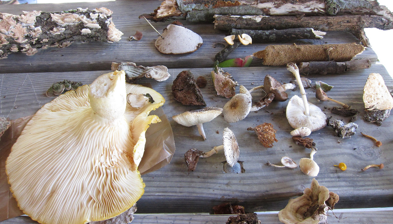 Some of the fungus collected and brough back.