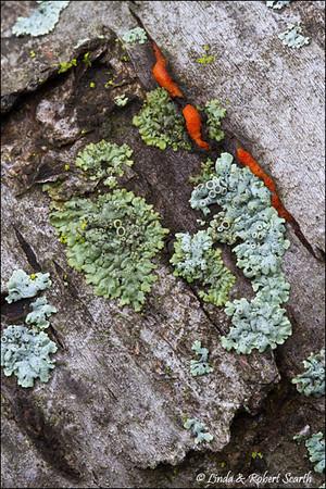 A very young Pycnoporus cinnabarinus among some lichens.