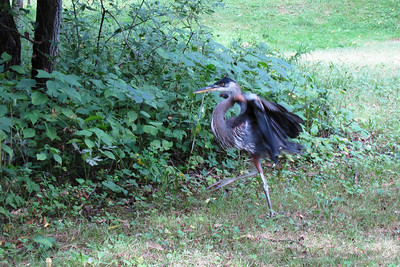 A Great Blue Heron entertains as we arrive at the meeting spot.