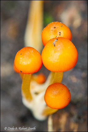 Some young but lovely Mycena leaiana
