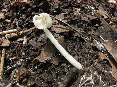 There were many of these Helvella elastica in the woods. Note the Mycelium strands throughout the area.