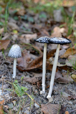 Coprinus comatus: The Shaggy Mane
