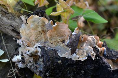 Phlebia tremellosa