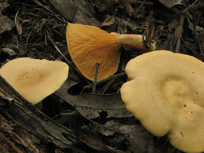 False Chanterelle, Hygrophoropsis aurantiaca. Note the pattern on the gills.