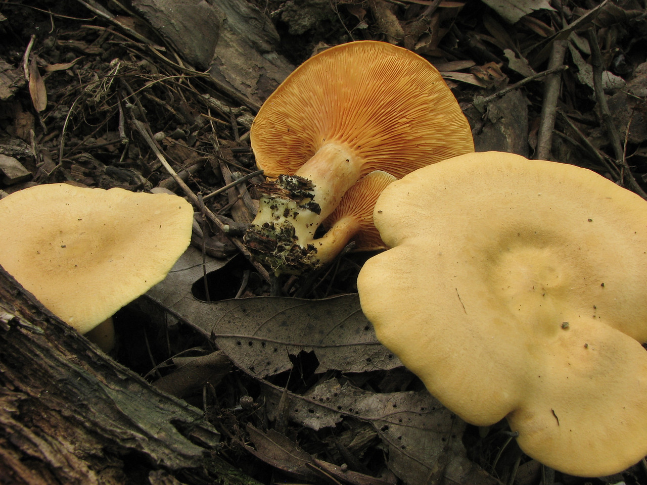 The same False Chanterelle as the last photo. If you zoom in on the gills, you can see that they split as they transition from the center to the edge.