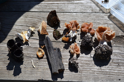 Some of the fungus brought back to the table for review.