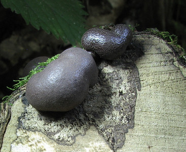 Carbon Balls. Note the spore print on the log.