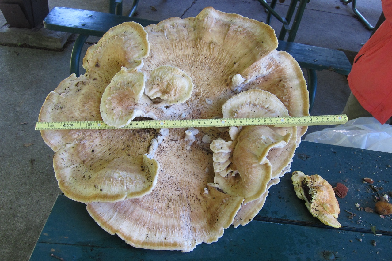 Bondarzewia berkeleyi, one big mushroom at 45 centimeters (17 3/4 inches).