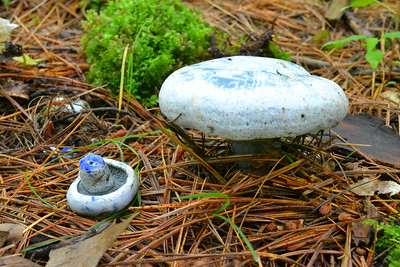 The blue milk mushroom.