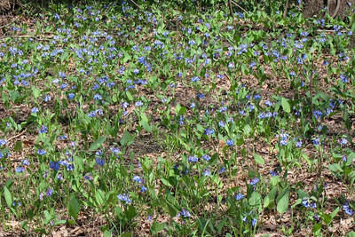 A patch of Bluebells.