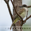 Loggerhead Kingbird immature
