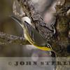 Bahama Warbler