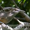 Great Lizard Cuckoo immature