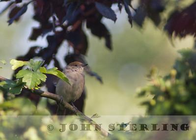 Sterling's British Birds Summer 2013