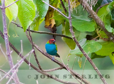 Bay-headed Tanager along the old Buenaventura Road