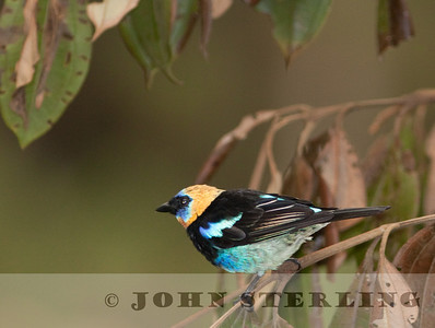 Golden-masked Tanager at Cerro Azul in Panama