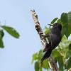Guadeloupe Woodpecker, Guadeloupe, 27 July 2019