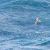 Bridled Tern, Guadeloupe, 24 July 2019