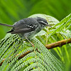 Plumbeous Warbler, Guadeloupe, 27 July 2019