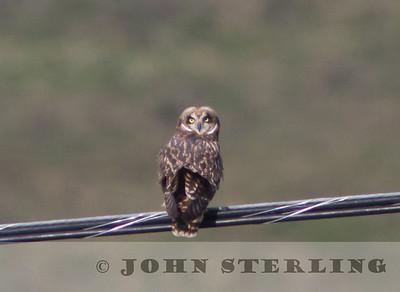 Hawaii Short-eared Owl