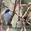White-bellied Seedeater
