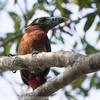 Spot-billed Toucanet