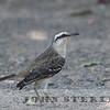 Chalk-fronted Mockingbird