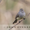 White-bellied Tyrannulet