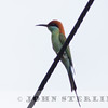 Rufous-crowned Bee-eater