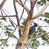 Northern Sooty-Woodpecker