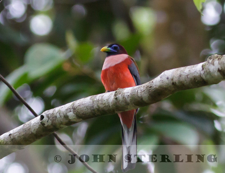 Philippine Trogon: Mindanao, March 2012