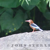 Brown-breasted Kingfisher