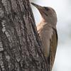 Gray-headed Woodpecker
