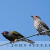 Australian Figbird