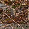 Marsh Grassbird